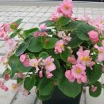 Begonia Whopper