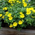 Mecardonia (Gold DUst Plant)