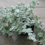 Helichrysum - Licorice Plant