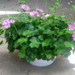 Geranium, Ivy.use