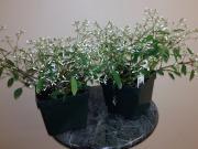 4 5 Euphorbia Blush White Zittels