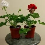 Geraniums 3 inch