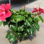 Tropical Hibiscus 6